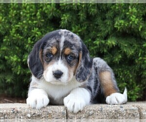 Australian Shepherd-Beagle Mix Puppy for sale in FREDERICKSBG, OH, USA