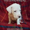 Small Photo #14 Dogo Argentino Puppy For Sale in PINEVILLE, MO, USA