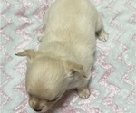 Small Photo #8 Chihuahua Puppy For Sale in NEVADA, TX, USA