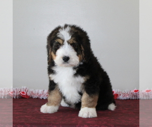 Miniature Bernedoodle Puppy for sale in PEACH BOTTOM, PA, USA