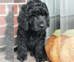 Goldendoodle Puppy for sale in NEW BERN, NC, USA
