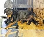Small #33 Rottweiler