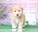 Bertha Beautiful Female Mini Aussie Puppy