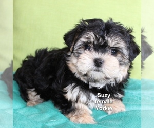 Yorkshire Terrier Puppy for sale in LITTLEROCK, CA, USA