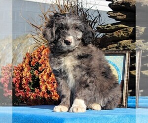 Aussiedoodle Puppy for sale in HOLTWOOD, PA, USA
