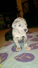 Great Dane Puppy For Sale in MIDLAND, MI