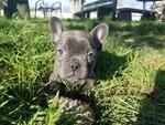 AKC Blue French Bulldog Girl