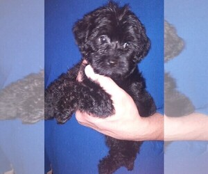YorkiePoo Puppy for Sale in SAUGUS, Massachusetts USA