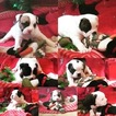 Olde English Bulldogge Puppy For Sale in ROCHESTER, NY,