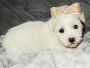 Coton de Tulear Dog for Adoption in ROCKFORD, Michigan USA