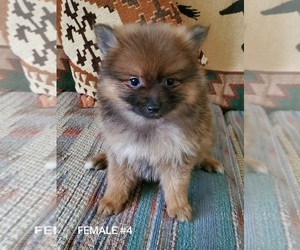 Pomeranian Puppy for Sale in NOCONA, Texas USA