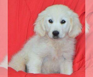 English Cream Golden Retriever Puppy for sale in BERNVILLE, PA, USA