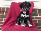 Poodle (Standard)-Sharberian Husky Mix Puppy For Sale in EAST EARL, PA, USA