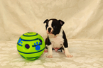 Boston Terrier Puppy For Sale in GRAHAM, WA,