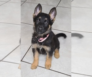 German Shepherd Dog Puppy for sale in WARREN, MA, USA