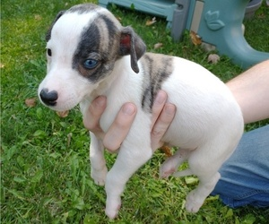 Whippet Puppy for sale in CINCINNATI, OH, USA