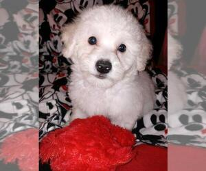 Bichon Frise Puppy for sale in LA PORTE, TX, USA