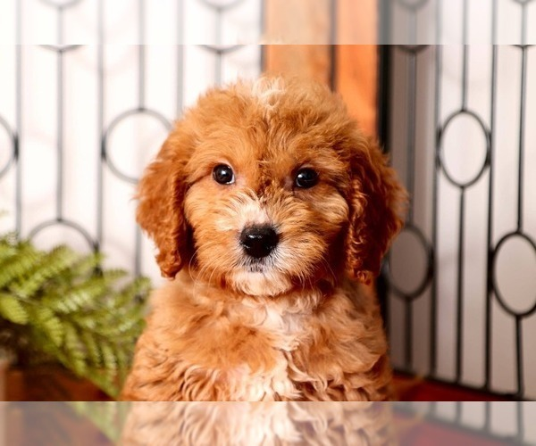 Medium Photo #3 Goldendoodle Puppy For Sale in NAPLES, FL, USA