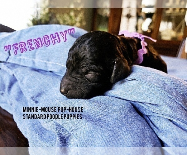 Medium Photo #6 Poodle (Standard) Puppy For Sale in DYERSBURG, TN, USA