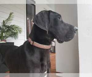 Great Dane Puppy for sale in CHARLESTON, SC, USA