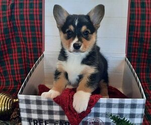 Pembroke Welsh Corgi Puppy for sale in KINGSVILLE, MO, USA