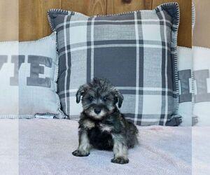 Schnauzer (Miniature) Puppy for Sale in WARSAW, Indiana USA