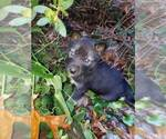Small Photo #3 Wolf Hybrid Puppy For Sale in HARRISON, AR, USA