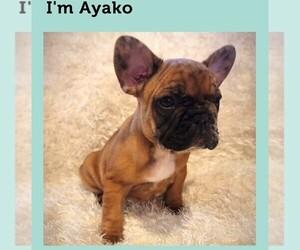 French Bulldog Dog for Adoption in AUBURN, Washington USA