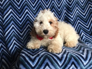 View Ad: Cocker Spaniel-Poodle (Miniature) Mix Puppy for