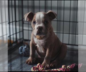 Olde English Bulldogge Dog for Adoption in KATY, Texas USA