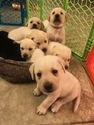 Labrador Retriever Puppy For Sale in ALBUQUERQUE, NM, USA