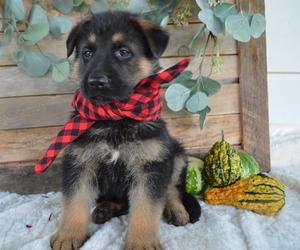 German Shepherd Dog Dog for Adoption in HONEY BROOK, Pennsylvania USA