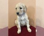 Puppy 10 Goldendoodle-Poodle (Standard) Mix