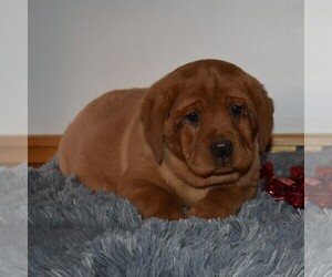 Labrador Retriever Puppy for sale in MILLERSTOWN, PA, USA
