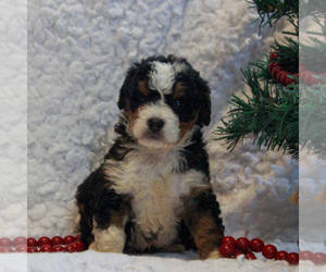 Bernedoodle-Poodle (Miniature) Mix Dog for Adoption in NARVON, Pennsylvania USA
