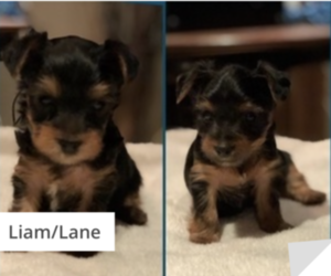 Yorkshire Terrier Puppy for sale in BEACH PARK, IL, USA