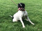 Male English Pointer