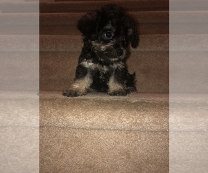 Maltese-Unknown Mix Puppy for sale in LITHIA SPGS, GA, USA