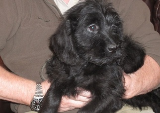 Labradoodle-Labrador Retriever Mix Puppy for sale in THURMOND, NC, USA