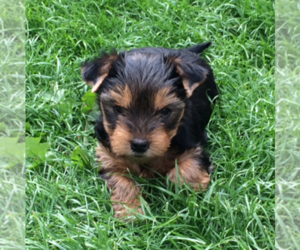 Yorkshire Terrier Puppy for sale in OAK PARK, IL, USA