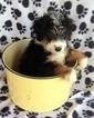 Puppy 7 Miniature Bernedoodle