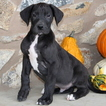 Great Dane Puppy For Sale in GAP, PA, USA