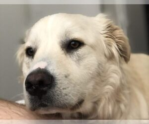 Border Collie-Golden Retriever Mix Dog for Adoption in TEMPE, Arizona USA