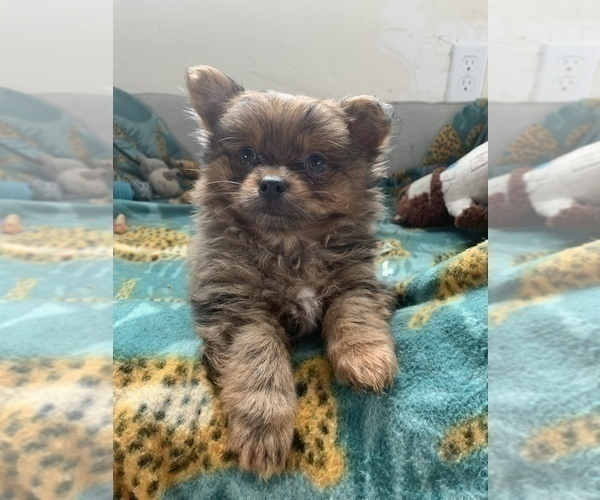 Medium Photo #5 Pomeranian Puppy For Sale in KEAAU, HI, USA
