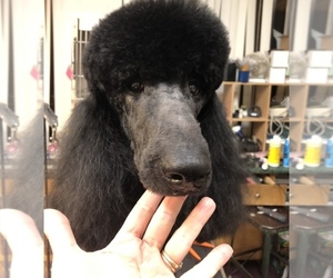 Poodle (Standard) Puppy for sale in BEAVER CREEK, OH, USA