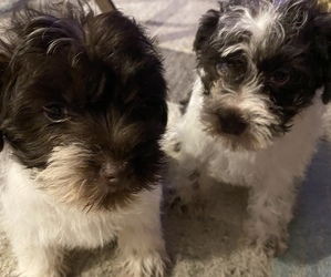Schnauzer (Miniature) Puppy for sale in LAWRENCEBURG, TN, USA