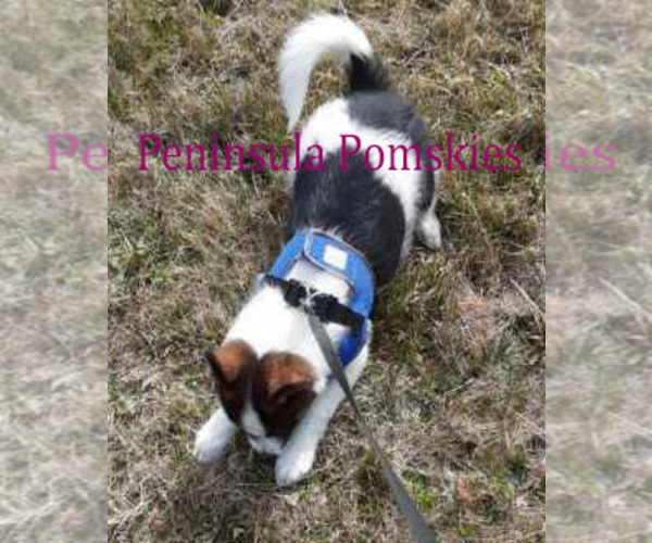 Medium Photo #7 Pomsky Puppy For Sale in SEQUIM, WA, USA