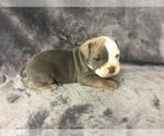 Puppy 2 Olde English Bulldogge