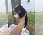 Small Photo #6 Bulldog Puppy For Sale in CALDWELL, TX, USA