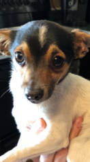 Rat Terrier Puppy for sale in FLORENCE, AL, USA